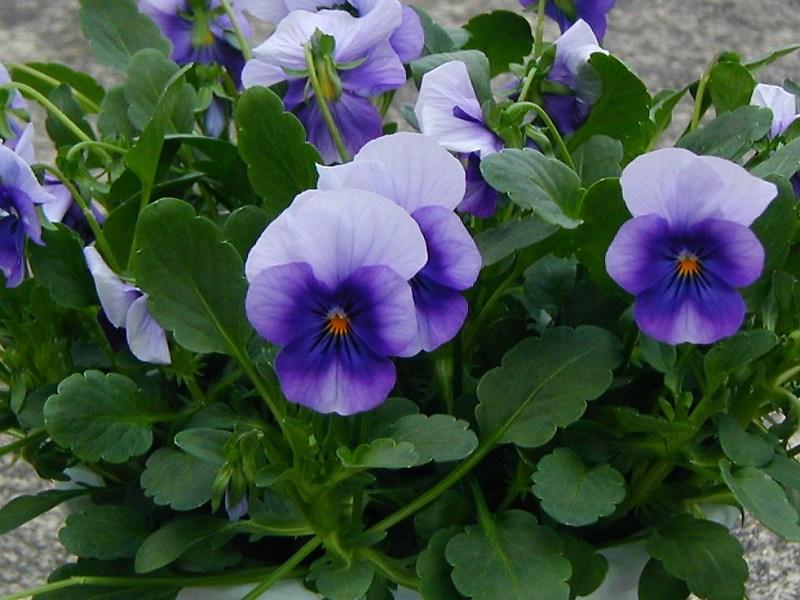 ビオラ (植物)の画像 p1_1